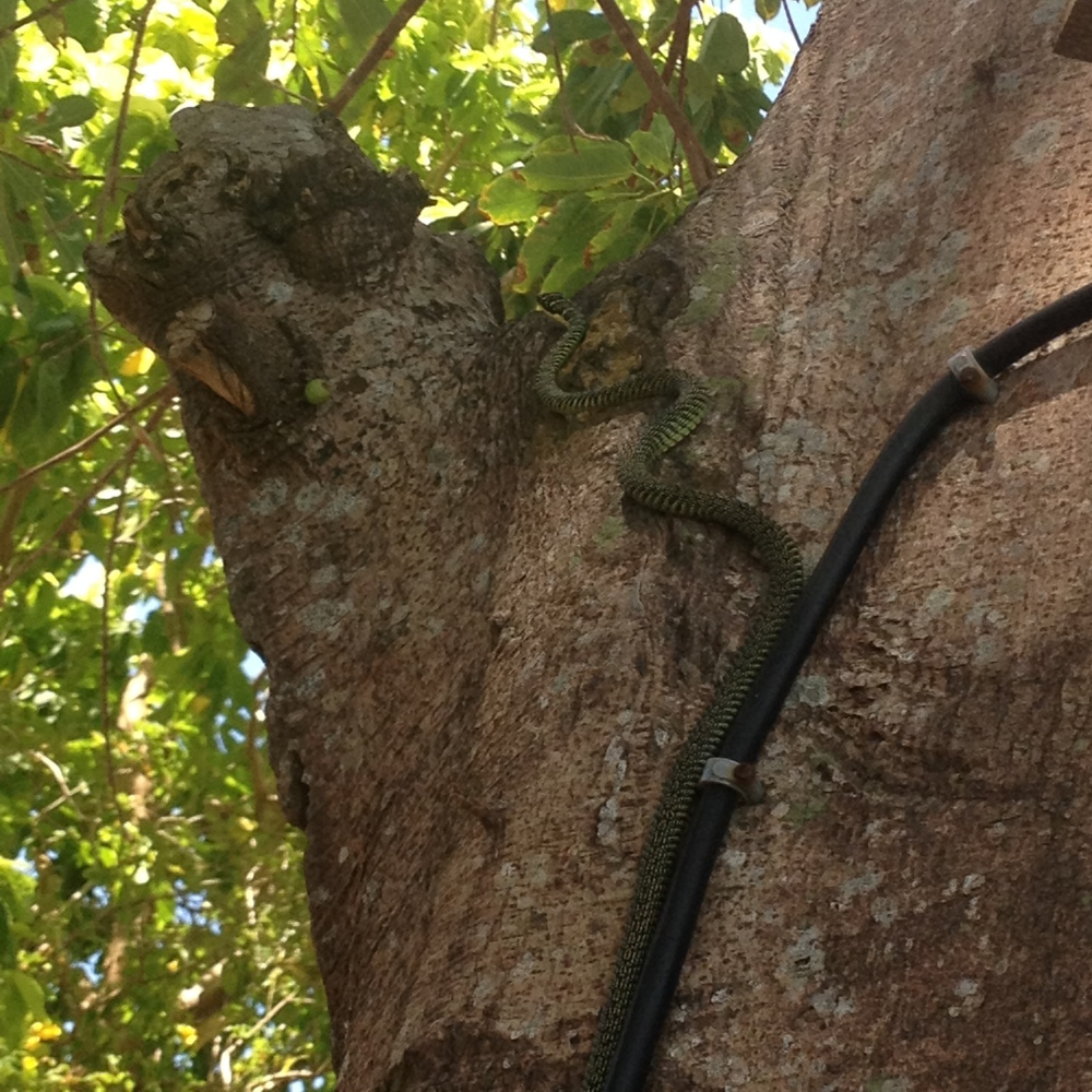 snake encounters. Koh Tao snakes. Golden tree snakes